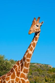 Giraffe gegen blauen himmel