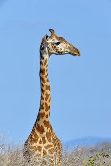 Giraffe im nationalpark von kenia