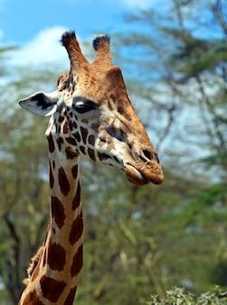 Giraffe in der afrikanischen savanne in ihrem natürlichen lebensraum