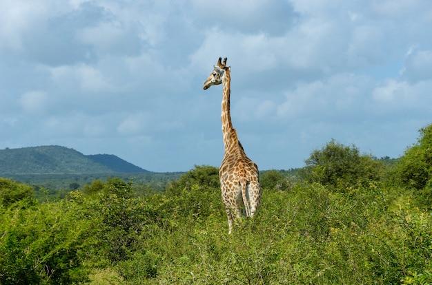 Giraffe in der savanne, krüger-nationalpark, südafrika