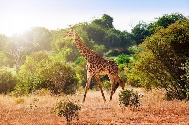 Giraffe in der savanne
