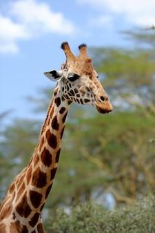Giraffe in freier wildbahn