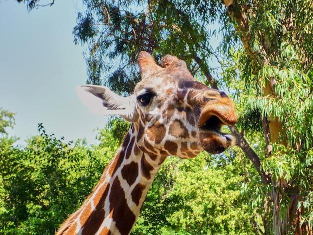 Giraffe isst im zoo von china. sommer