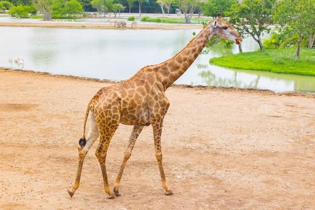 Giraffe ist ein afrikanisches säugetier, das höchste lebende landtier. es geht am fluss entlang.