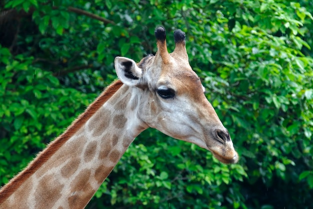 Giraffe kopf nahaufnahme