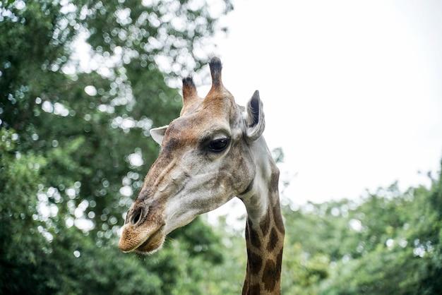Giraffe kopf porträt gesicht hals