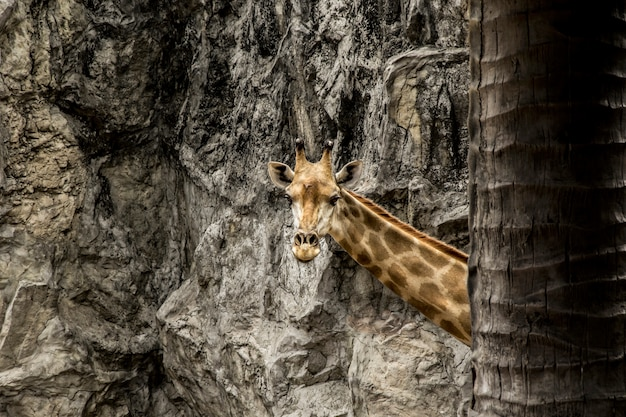 Giraffe peekaboo nach palme.
