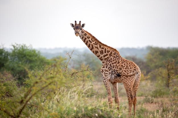 Giraffe steht zwischen dem busch und den bäumen in der savanne