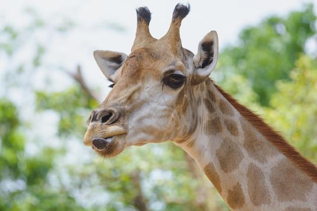 Giraffe streckte seine zunge heraus, hat spaß zusammen und macht im khao din zoo in thailand ein lustiges gesicht.