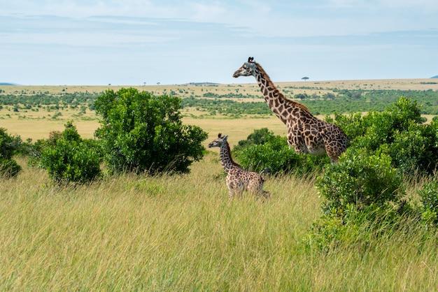 Giraffe und kalb