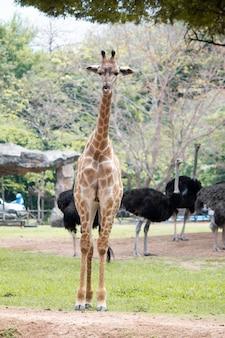 Giraffen aus den grund in den tropen.