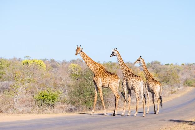 Giraffen der dreiköpfigen familie, welche die straße im kruger nationalpark, hauptreiseziel in südafrika kreuzen.