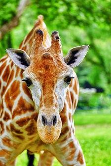 Giraffen ihr natürlicher lebensraum. nationaler wald.