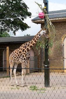 Giraffen im londoner zoo im regent park