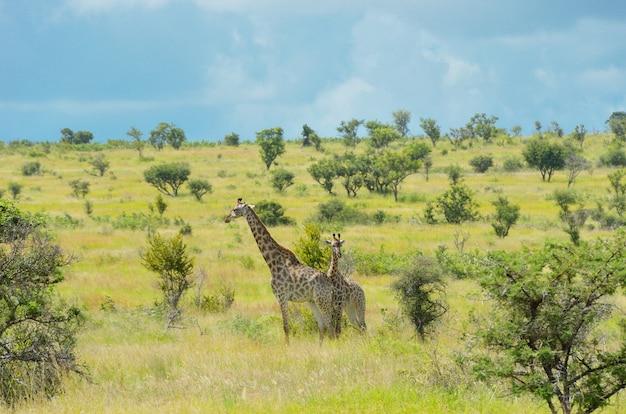 Giraffen in der savanne, krüger-nationalpark, südafrika