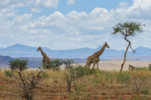 Giraffen in einer afrikanischen landschaft