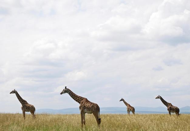 Giraffen in masai mara