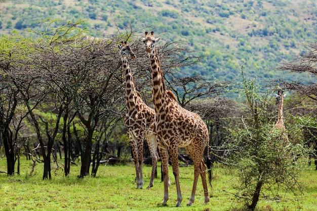 Giraffen masai mara national park gruppe von giraffen auf safari kenia tierwelt