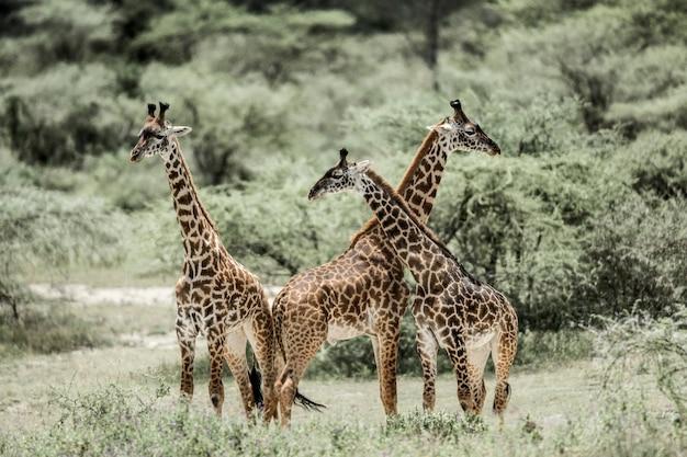 Giraffen spielen im serengeti national park