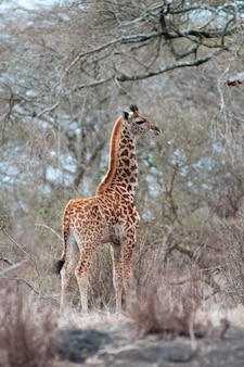 Giraffen wildtiere in kenia
