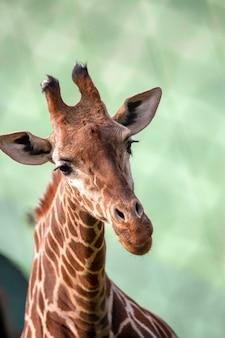 Giraffenbüste hautnah