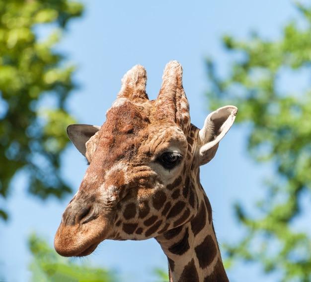 Giraffenkopf mit bäumen im hintergrund.