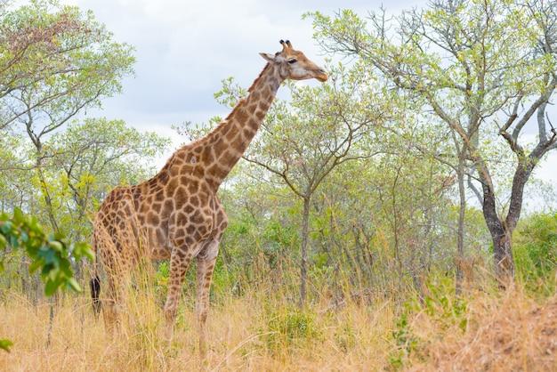 Giraffenprofil im busch, im abschluss hoch und im porträt