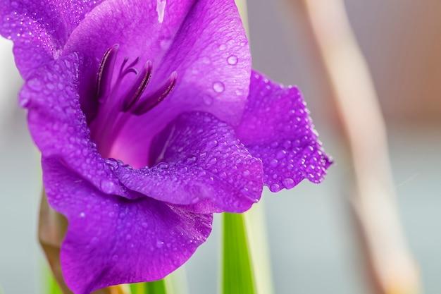 Gladiolenblütennahaufnahme mit wassertropfen auf den blütenblättern.