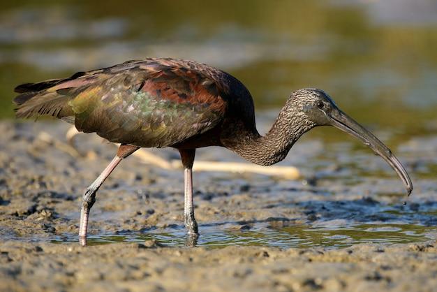Glänzender ibis (plegadis falcinellus) im schlamm