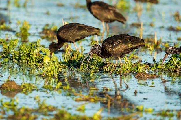 Glänzender ibis (plegadis falcinellus) in einem reisfeld in albufera des naturparks valencia, valencia, spanien.