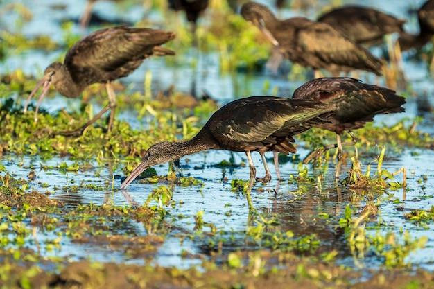Glänzender ibis (plegadis falcinellus) mit einem einzelnen bein in einem reisfeld im naturpark albufera de valencia, valencia, spanien.