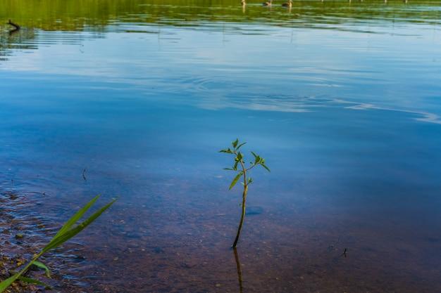 Glas wächst aus wasser entlang einer flussbank.