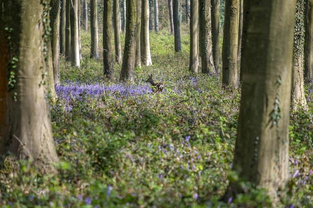 Glockenblumen in wepham wood