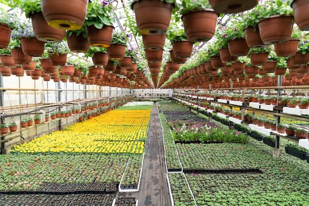 Glower plantage in bio-gewächshauspflanzen sämling wachsen in töpfen für die kultivierung und wiederbepflanzung