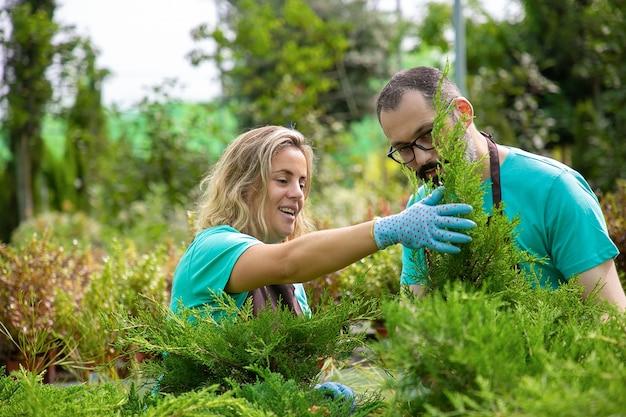 Glückliche gärtner, die nadelpflanzen in töpfen anbauen. blonde frau hält kleine thuja und arbeitet mit grauhaarigem mann in gläsern. gartenarbeit und sommerkonzept