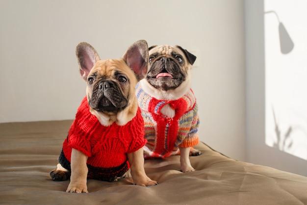 Glückliche haustiere mops hund und französische bulldogge gekleidet in gestrickten pullovern zu hause warten auf ihren besitzer. lustige hunde bereit zum ausgehen. hundekleidung, mode