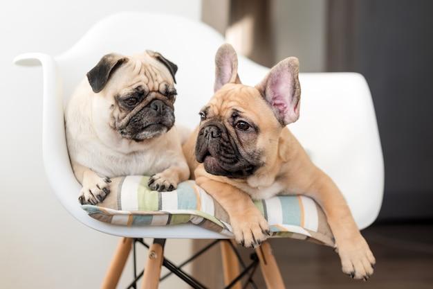 Glückliche haustiere mops hund und französische bulldogge sitzen auf einem stuhl, der verschiedene seiten betrachtet. hunde warten in der küche auf futter