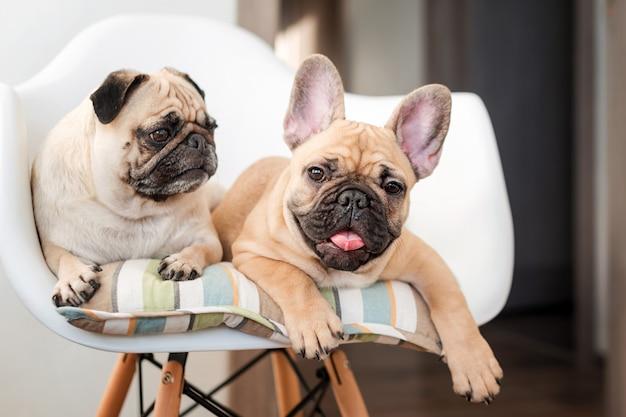 Glückliche haustiere mops hund und französische bulldogge sitzen auf einem stuhl und betrachten die kamera. hunde warten in der küche auf futter
