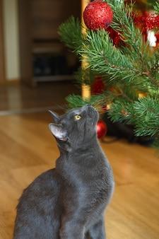 Glückliche russische blaue katze spielt mit einem weihnachtsspielzeug. freches süßes kätzchen. weihnachtskatze.