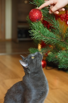 Glückliche russische blaue katze spielt mit einem weihnachtsspielzeug. weihnachtskatze.