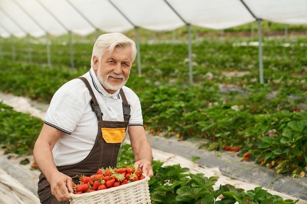 Glücklicher bauer, der frische erdbeeren erntet
