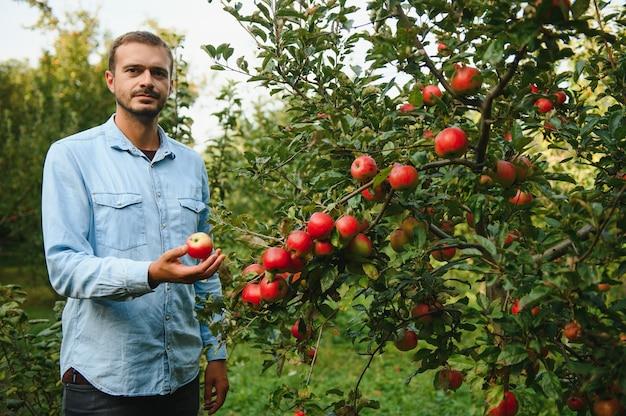 Glücklicher bauer, der zur erntezeit äpfel von einem apfelbaum im garten pflückt
