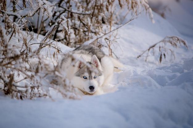 Glücklicher blauäugiger sibirischer husky freut sich auf einem weg im schnee.