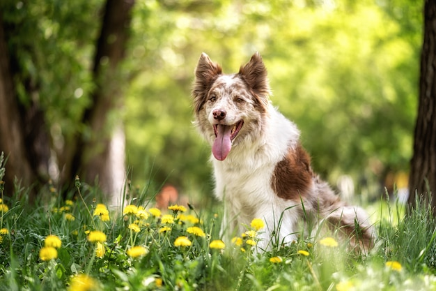 Glücklicher brauner und weißer border-colliehund mit der zunge