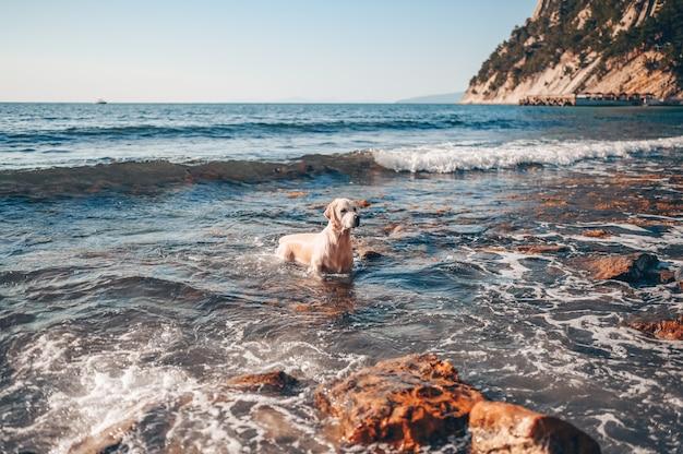 Glücklicher fröhlicher golden retriever, der das laufende springen mit wasser an der seeküste im sommer schwimmt