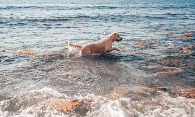 Glücklicher fröhlicher golden retriever, der das laufende springen mit wasser an der seeküste im sommer schwimmt.