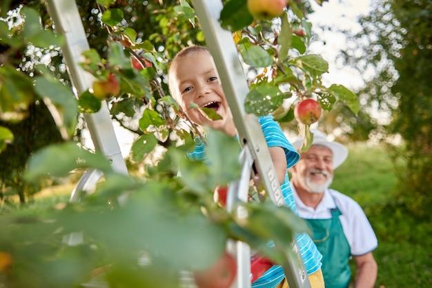 Glücklicher gärtner, der seinen enkel steht auf leiter im garten betrachtet.