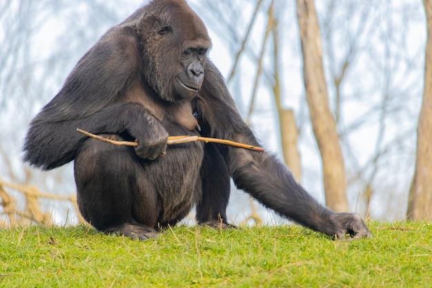 Glücklicher gorilla auf einem grasfeld, das einen stock hält