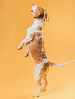 Glücklicher hund, der auf hinterbeinen steht