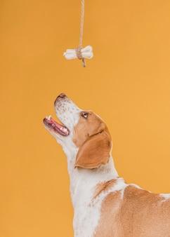 Glücklicher hund, der oben einem knochen betrachtet